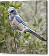 Greedy Florida Scrubjay Canvas Print