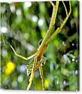 Green Argiope  Canvas Print