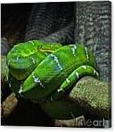 Green Coiled Snake Canvas Print