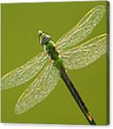 Green Darner Canvas Print