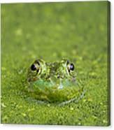 Green Frog Eyes Canvas Print