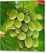 Green Grape And Vine Leaves Canvas Print