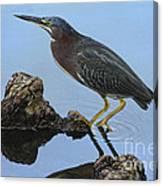 Green Heron Visiting The Pond Canvas Print