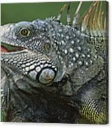Green Iguana Barro Colorado Island Canvas Print