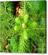 Green Pine Needles 2 Canvas Print