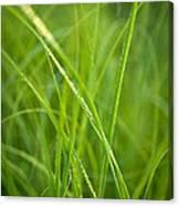 Green Prairie Grass Canvas Print