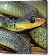 Green Racer Chironius Exoletus Canvas Print