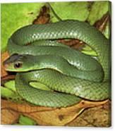 Green Racer Drymobius Melanotropis Amid Canvas Print
