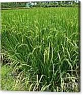 Green Rice Field In Taiwan Canvas Print