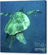 Green Sea Turtle 1 Canvas Print