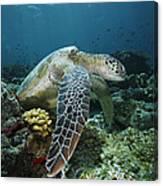Green Sea Turtle Chelonia Mydas Canvas Print