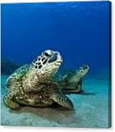 Green Sea Turtle Couple Canvas Print