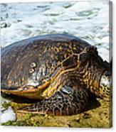 Green Sea Turtle Of Hawaii Canvas Print