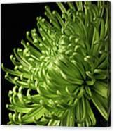 Green Spider Mum Canvas Print