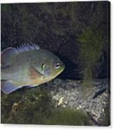 Green Sunfish Swimming Along The Rocky Canvas Print