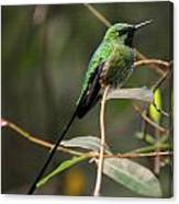 Green Tailed Trainbearer Canvas Print
