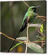 Green Tailed Trainbearer Hummingbird Stylized Canvas Print