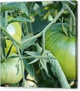 Green Tomato On The Vine Canvas Print