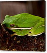 Green Tree Frog Canvas Print