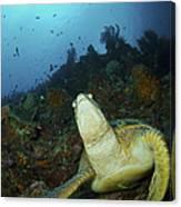 Green Turtle On Reef, Manado, North Canvas Print