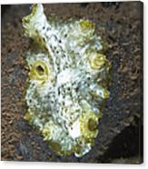 Green, White And Brown Flatworm, Bali Canvas Print