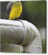 Grey-capped Flycatcher Canvas Print