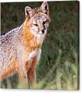Grey Fox - Vantage Point Canvas Print