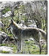 grey Fox 2 Canvas Print