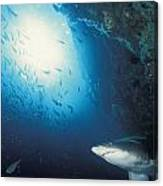 Grey Nurse Shark Turning Away From Reef Canvas Print