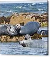 Grey Seals Canvas Print