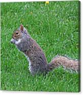 Grey Squirrel In The Rain Canvas Print