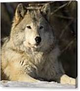 Grey Wolf Canis Lupus In Ecomuseum Zoo Canvas Print