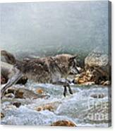 Grey Wolf Jumping Over A Mountain Stream Canvas Print