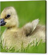 Greylag Goose Gosling Canvas Print