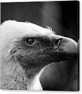 Griffon Vulture Canvas Print