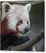 Grimacing Red Panda Canvas Print