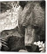 Grizzly At Rest Canvas Print