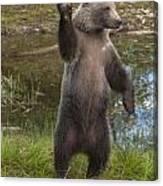 Grizzly Bear Cub Canvas Print