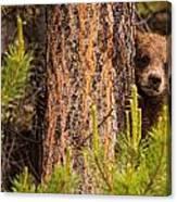 Grizzly Bear Cub Up A Tree, Yukon Canvas Print