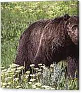 Grizzly Bear In Yellowstone Neg.28 Canvas Print