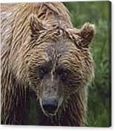 Grizzly Bear Ursus Arctos, Denali Canvas Print