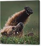 Grizzly Bear Ursus Arctos Stretching Canvas Print