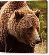 Grizzly Bear, Yukon Canvas Print