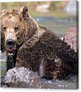 Grizzly Cavorts In Stream Canvas Print