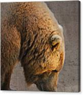 Grizzly Hanging Head Canvas Print