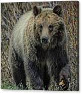 Grizzly Ramble Canvas Print