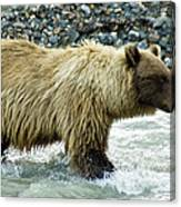 Grizzly Sow In Denali Canvas Print