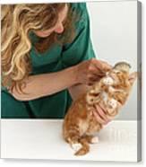 Grooming A Kitten Canvas Print