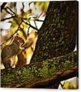 Grooming Grey Squirrel Canvas Print
