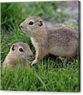 Ground Squirrels, Oak Hammock Marsh Canvas Print